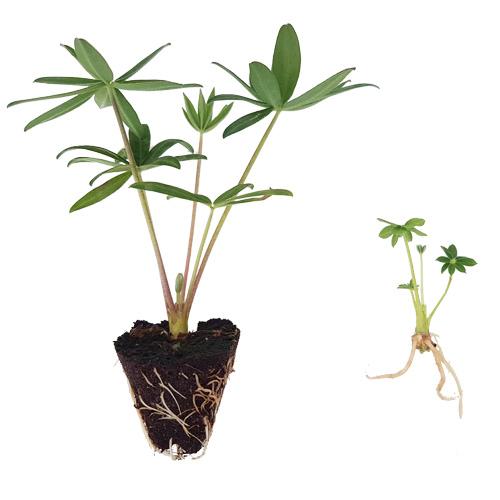 Walter Blom Plants Stage 3
