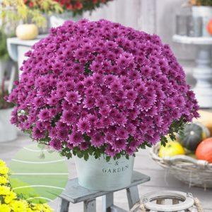Walter Blom Plants Chrysanthemum Blanchett® Pink