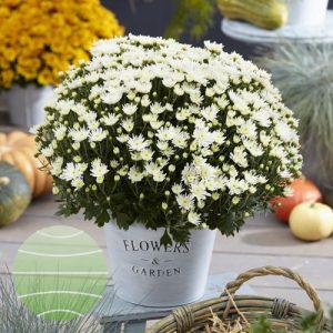 Walter Blom Plants Chrysanthemum De Niro@ White