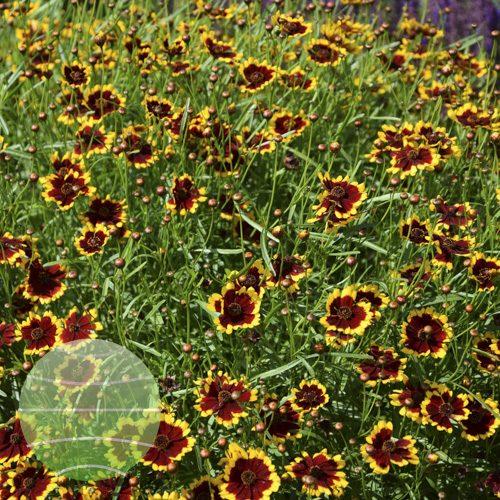Walter Blom Plants Coreopsis Highland Blast
