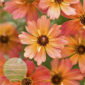 Walter Blom Plants Coreopsis Limerock Dream