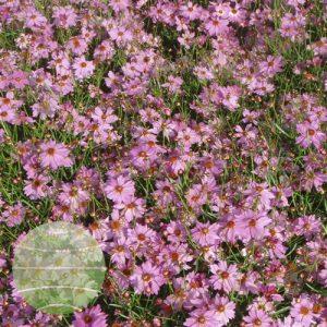Walter Blom Plants Coreopsis Limerock Passion