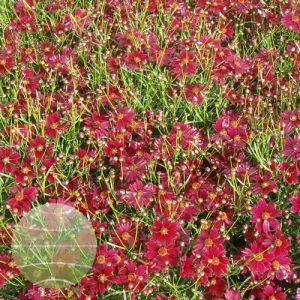 Walter Blom Plants Coreopsis Limerock Ruby