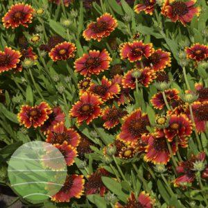 Walter Blom Plants Gaillardia Galya Eternal Flame