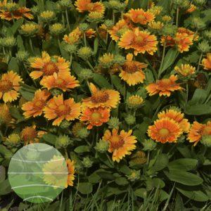 Walter Blom Plants Gaillardia Galya Yellow