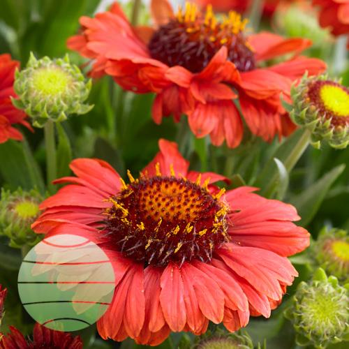Walter Blom Plants Gaillardia Celebration Sunset