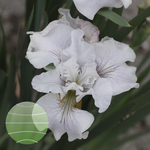 Walter Blom Plants Iris Miss Apple