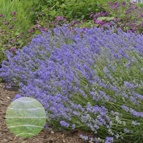 Walter Blom Plants Lavandula Blue Cushion