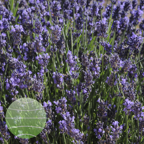 Lavandula_SuperBlue_Bloom_17290
