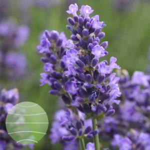 Walter Blom Plants Lavandula Super Blue