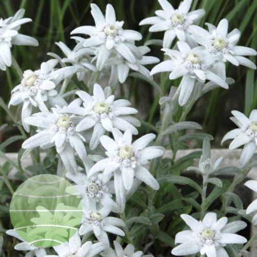 Walter Blom Plants Leontopodium Silvery Darling