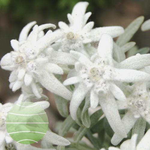 Walter Blom Plants Leontopodium Silvery Glacier