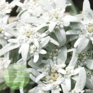 Walter Blom Plants Leontopodium Silvery Delight