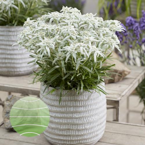 Leontopodium alpinum Silvery Snowflake