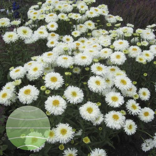 Walter Blom Plants Leucanthemum Engelina