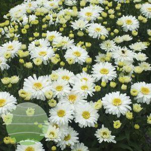 Walter Blom Plants Leucanthemum Freak!