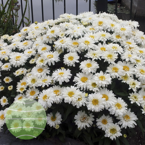 Walter Blom Plants Leucanthemum Freak!