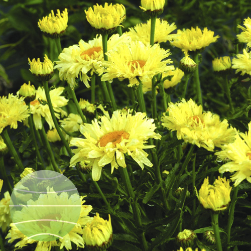 Walter Blom Plants Leucanthemum Goldfinch