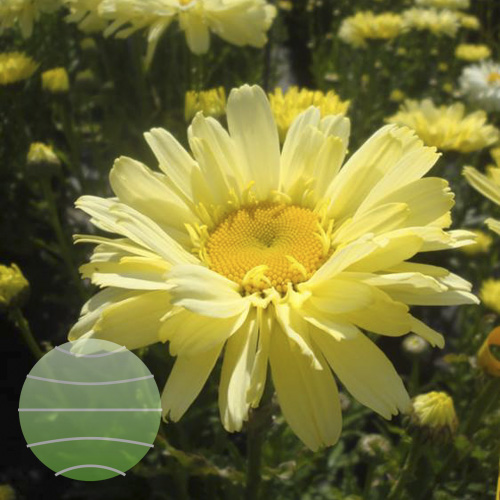LWalter Blom Plants Leucanthemum Real-Dream