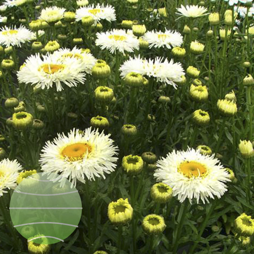 LWalter Blom Plants Leucanthemum Real-Galaxy