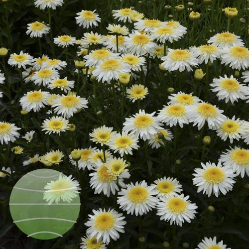LWalter Blom Plants Leucanthemum Real-Glory