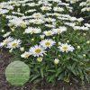 Leucanthemum superbum 'Spoonful of Sugar' PP28760 1