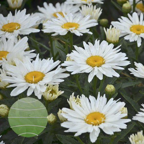 Walter Blom Plants-Walters Gardens-Leucanthemum-superbum-spoonfull of sugar