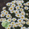 Leucanthemum superbum 'Spoonful of Sugar' PP28760 3