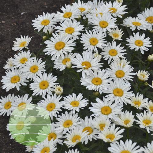 Walter Blom Plants-Leucanthemum-Walters Gardens- superbum-Spoonful-of-sugar