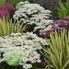 Leucanthemum superbum 'Whoops-a-Daisy' PP27259 2