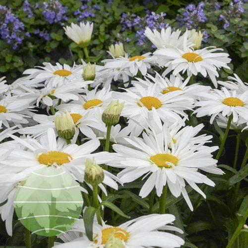 Walter Blom Plants-Walters Gardens-Leucanthemum-superbum-Whoops-a-Daisy