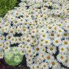 Leucanthemum superbum 'Whoops-a-Daisy' PP27259 4