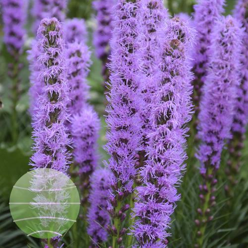 LWalter Blom Plants Liatris-Kobold