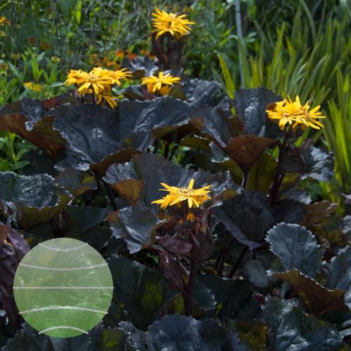 Walter Blom Plants Ligularia-Britt-Marie-Crawford