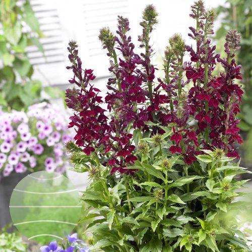 Walter Blom Plants Lobelia-Crimson-Princess