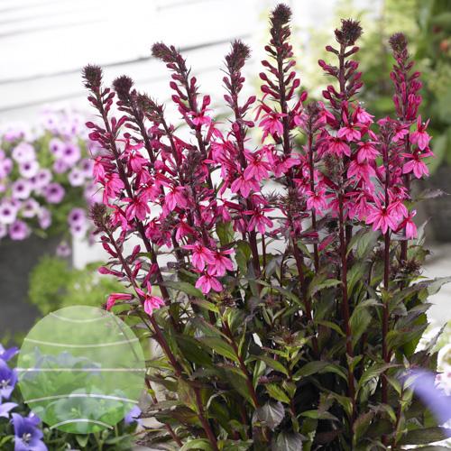 Walter Blom Plants Lobelia-Rose-Princess