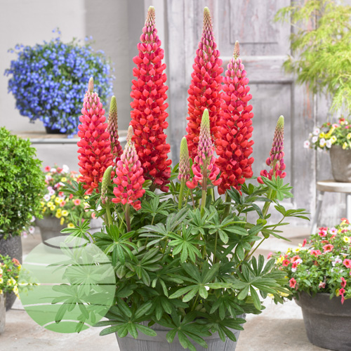 Walter Blom Plants Lupin-West-Country-Beefeater