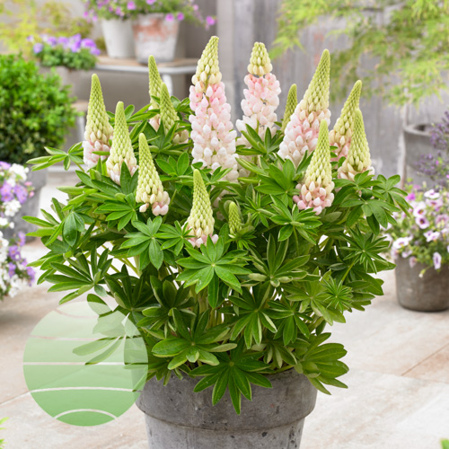 Walter Blom Plants Lupin-West-Country-Blossom