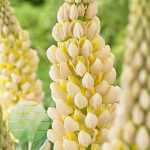 Walter Blom Plants Lupin-West-Country-Cashmere-Cream