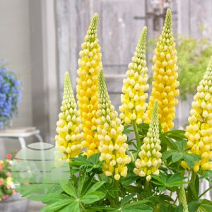 Walter Blom Plants Lupinus West-Country-Desert Sun