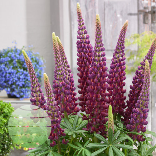Walter Blom Plants Lupin-West-Country-Masterpiece