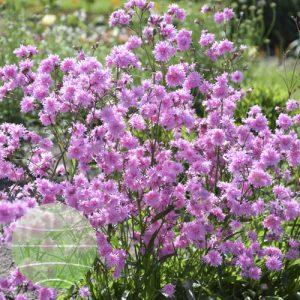 Walter Blom Plants Lychnis Petite Jenny 6