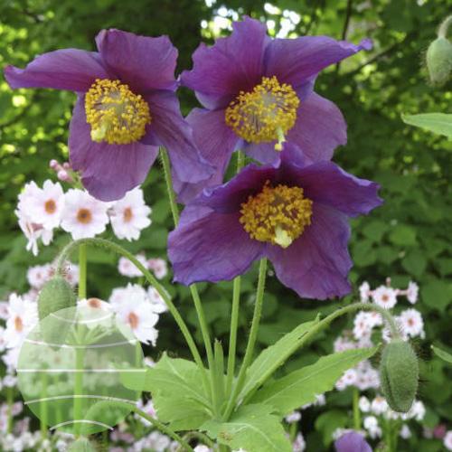 Walter Blom Plants Meconopsis betonicifolia Hensol Violet