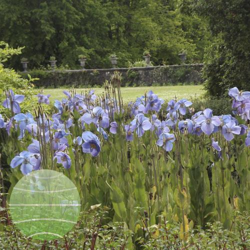 Walter Blom Plants Meconopsis sheldonii Lingholm