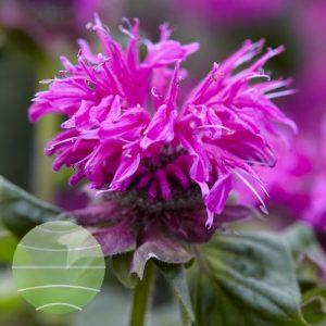 Walter Blom Plants Monarda Bee Free