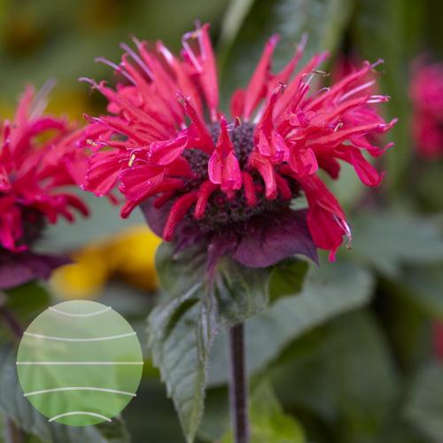 Walter Blom Plants Monarda Bee Happy