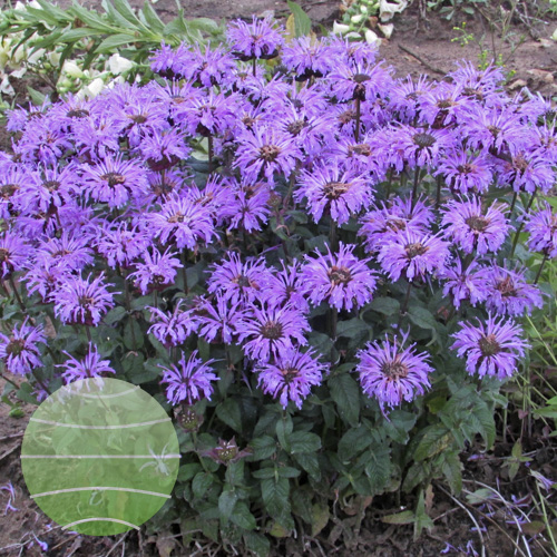 Monarda SUGAR BUZZ Blue Moon