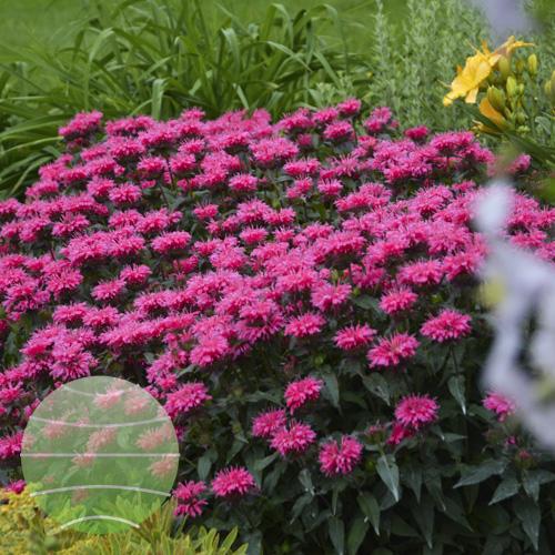 Walter Blom Plants Monarda SUGAR BUZZ Bubblegum Blast
