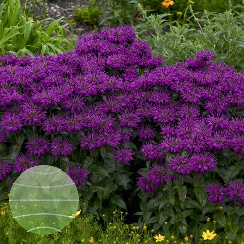 Walter Blom Plants Monarda SUGAR BUZZ Grape Gumball
