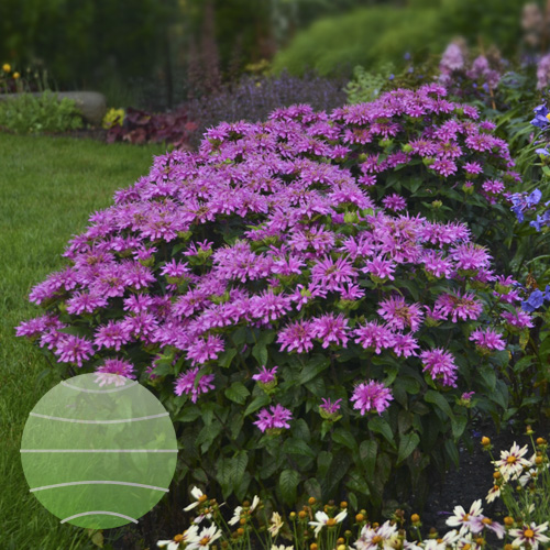 Monarda SUGAR BUZZ Lilac Lollipops